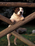 Staffordshire Bull Terrier Looking Through Fence Premium Photographic Print by Adriano Bacchella