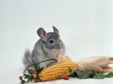 Long-Tailed Chinchilla Print by  Steimer