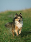 Sheltie / Shetland Sheepdog Running Photographic Print by Petra Wegner