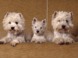 Domestic Dogs, Two West Highland Terriers / Westies with a Puppy Posters by Adriano Bacchella