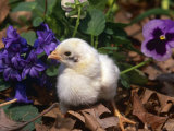 Domestic Chicken, Chick, Amongst Pansies, USA Photographic Print by Lynn M. Stone