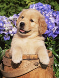 Golden Retriever Puppy in Bucket (Canis Familiaris) Illinois, USA Lámina fotográfica por Lynn M. Stone