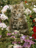 10-Week, Long Haired Tabby Kitten 'Powder Puff' Among Hosta, Verbena, Aphrodite, Argyranthemum Posters by Jane Burton