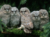 Five Young Tawny Owls, Germany Posters van  Delpho