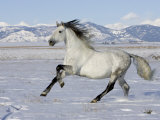 Gray Andalusian Stallion, Cantering in Snow, Longmont, Colorado, USA Photographic Print by Carol Walker