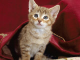 Domestic Cat, Portrait of Oriental Brown Spotted Tabby Kitten Under Red Velours Curtain Photographic Print by Jane Burton