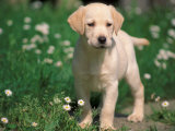 Young Labrador Retriever Portrait Premium Photographic Print by Adriano Bacchella
