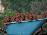 Domestic Dogs, a Wheelbarrow Full of Irish / Red Setter Puppies Photographic Print by Adriano Bacchella