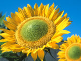 Sunflowers 'Sunbeam' Photographic Print by De Cuveland