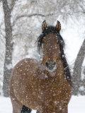 Etalon andalou bai sous la neige, Longmont, Colorado, Etats-Unis Affiche par Carol Walker