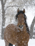 Bay Andalusian Stallion Portrait with Falling Snow, Longmont, Colorado, USA Stampa fotografica di Carol Walker