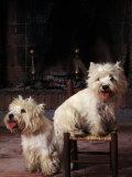 Domestic Dogs, Two West Highland Terriers / Westies, One Sitting on a Chair Photographic Print by Adriano Bacchella