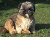 Shih Tzu Puppy Sitting on Grass Premium Photographic Print by Adriano Bacchella