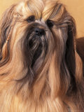 Lhasa Apso Portrait with Hair Plaited Photographic Print by Adriano Bacchella