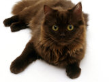 Domestic Cat, 6-Month Chocolate Persian Cross Female Photographic Print by Jane Burton
