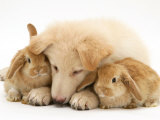 White German Shepherd Dog Puppy and Sandy Lop Baby Rabbits Photographic Print by Jane Burton