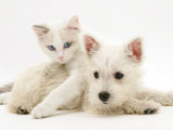 Ragdoll Kitten with West Highland White Terrier Puppy Prints by Jane Burton