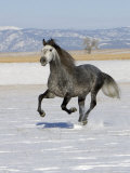 Gray Andalusian Stallion, Cantering in Snow, Longmont, Colorado, USA Premium Photographic Print by Carol Walker