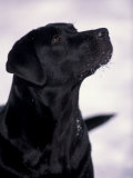 Black Labrador Retriever Looking Up Lmina por Adriano Bacchella