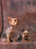 Studio Portraits of Two Yorkshire Terriers, One Lying Down and the Other Sitting up and Looking Up Photographic Print by Adriano Bacchella