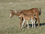 Sorrel Mare with Chestnut Filly, Pryor Mountains, Montana, USA Photographic Print by Carol Walker