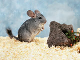 Long-Tailed Chinchilla at Play Prints by  Steimer