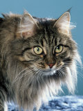 Head of Norwegian Forest Cat Photographic Print by Petra Wegner