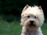 West Highland Terrier / Westie Panting Photographic Print by Adriano Bacchella