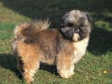 Shih Tzu Puppy Standing on Grass Posters by Adriano Bacchella