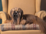 Lhasa Apso Sitting on Armchair Photographic Print by Adriano Bacchella