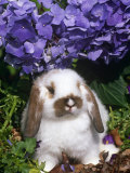 Baby Holland Lop Eared Rabbit, Amongst Hydrangeas, USA Photographic Print by Lynn M. Stone