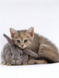 Domestic Cat, Silver Tortoiseshell Kitten with Silver Dwarf Lop Eared Rabbit Photographic Print by Jane Burton