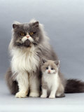 Domestic Cat, Blue Bicolour Persian Male with His 6-Week Lilac Bicolour Kitten Print by Jane Burton