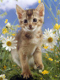 Domestic Cat, 6-Week, Abyssinian Kitten Among Ox-Eye Dasies and Buttercups Posters by Jane Burton