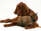 Irish Setter with Dwarf Rex Rabbit Pósters por Jane Burton