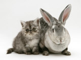 Silver Exotic Kitten, 9-Week with Silver Rex Doe Rabbit Posters by Jane Burton