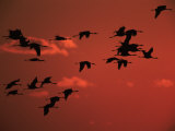 Common Crane, Flock Flying, Silhouettes at Sunset, Pusztaszer, Hungary Photographic Print by Bence Mate