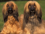 Domestic Dogs, Two Afghan Hounds Posters by Adriano Bacchella