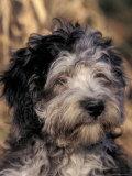 Pyrenean Sheepdog Puppy Portrait Prints by Adriano Bacchella