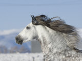 Grey Andalusian Stallion Head Profile While Cantering, Longmont, Colorado, USA Posters by Carol Walker