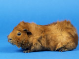 Red Abyssinian Guinea Pig Photographic Print by Petra Wegner