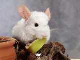 White Long-Tailed Chinchilla Feeding Photo by Steimer 
