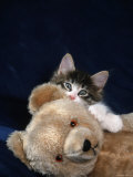 Norwegian Forest Kitten with Teddy Bear Photographic Print by Petra Wegner