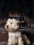 West Highland Terrier / Westie Sitting in Front of a Fireplace Photographic Print by Adriano Bacchella