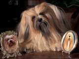 Lhasa Apso with Framed Pictures of Other Lhasa Apsos Print by Adriano Bacchella