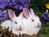 Two Albino New Zealand Domestic Rabbits, USA Print by Lynn M. Stone