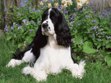 English Springer Spaniel, Illinois, USA Photographic Print by Lynn M. Stone