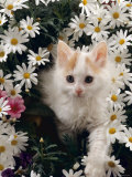 Domestic Cat, Turkish Van Kitten Among White Dasies with Pink Primulas Photo by Jane Burton