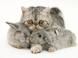 Silver Exotic Cat Cuddling up with Two Baby Silver Rabbits Poster by Jane Burton