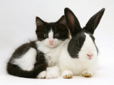 Black Dutch Rabbit with Black-And-White Kitten Photographic Print by Jane Burton